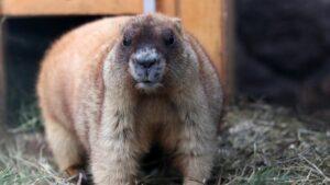 Rusland Altai - marmot