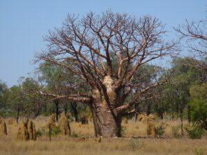 Australië - Baobab
