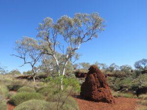 Australië - termietenhoop
