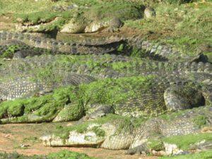 Australië - krokodillen