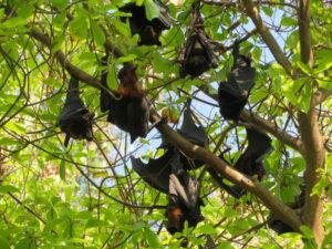 Australië - vleermuizen