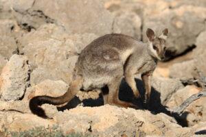 Australië - buideldier