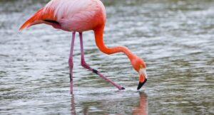 Ecuador - Galápagos - flamingo