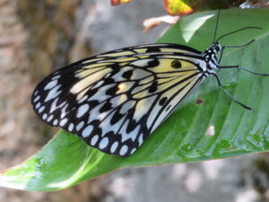 Filipijnen - vlinder