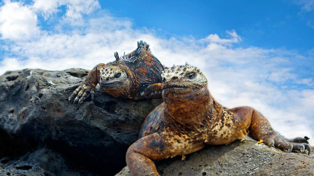 Ecuador - Galápagos - sea lizard