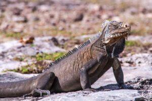 Guadeloupe - iguana
