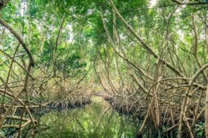 Guadeloupe - mangrove