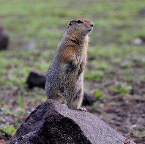 Kamchatka - marmot