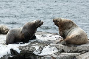 Kamchatka - zeeleeuwen
