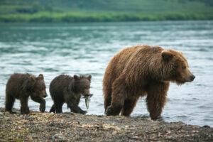 Kamchatka - beer met jongen