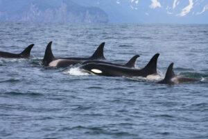 Kamchatka - orca's