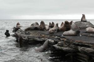 Kamchatka - zeeleeuwenkolonie