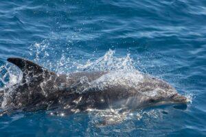 La Gomera - dolfijn