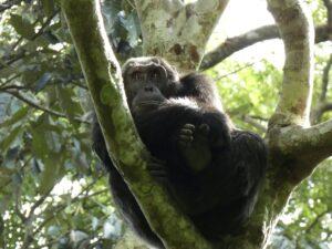 Oeganda - chimpansee