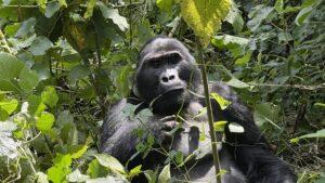 Oeganda - gorilla