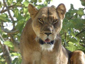Oeganda - safari