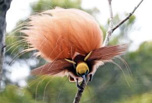 Papoea Nieuw Guinea - vogel