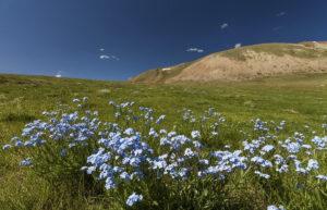 Rusland Altai - bloemen