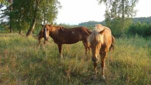 Rusland Altai - paarden