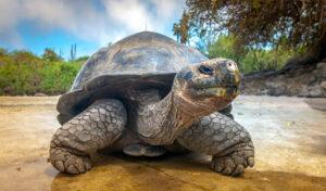 Ecuador - Galápagos - schildpad