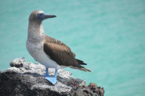 Ecuador - Galápagos - vogel