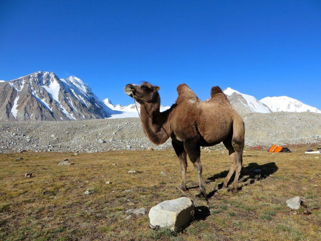 Mongolië - kameel